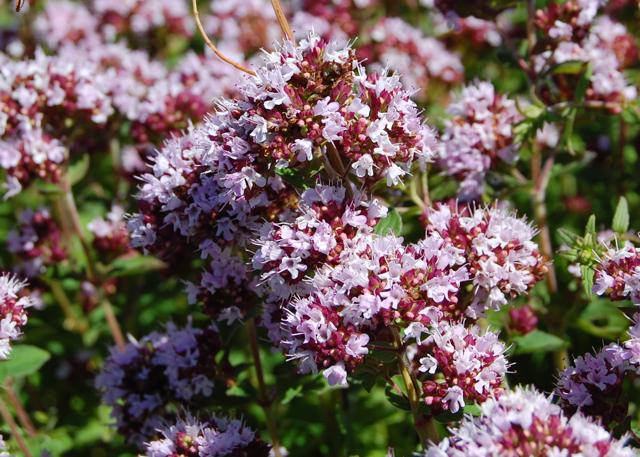 Marjoram Flowers
