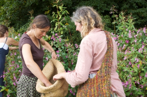 Collecting Himalayan Balsam seeds